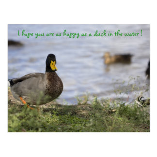 Happy as a duck in the water ! postcard