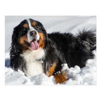 Happy Bernese Mountain Dog In Winter Snow Postcard