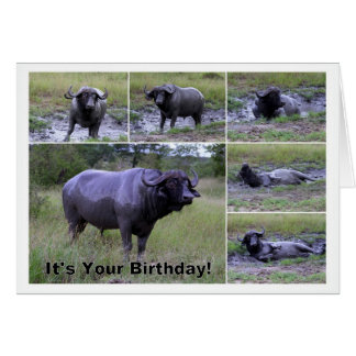Happy Birthday Cape Buffalo Mud Bath Card