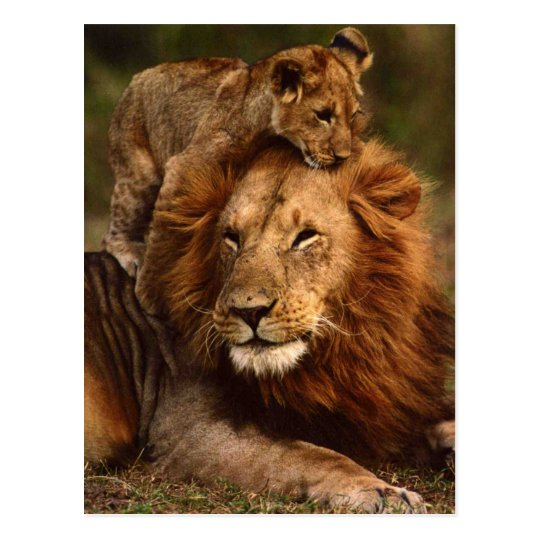 Happy Fathers Day Daddy Lion and Lion Cub Postcard