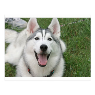 Happy Husky Postcard