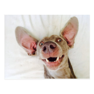 Happy Weimaraner Postcard