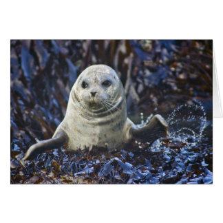 Harbor Seal  (Phoca vitulina) Greeting Card