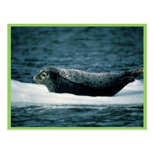 Harbor Seal Postcards