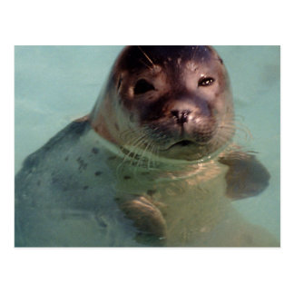 Harbor Seal Postcard