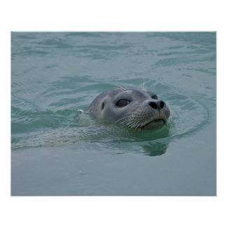 Harbor Seal swimming in Jokulsarlon glacial lake Poster