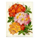 """""""Hardy Azaleas"""" by Sir Joseph Paxton Post Card"""