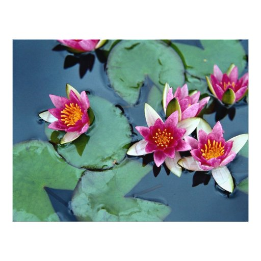 Hardy water lily, red, Nymphaea laydekeri Flyer