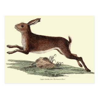 HARE POST CARD
