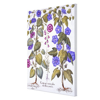 Harebell and Convovulus Canvas Print
