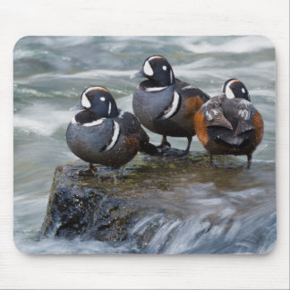Harlequin Drakes Resting in fresh water rapids Mouse Mat