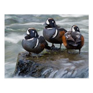Harlequin Drakes Resting in fresh water rapids Postcard