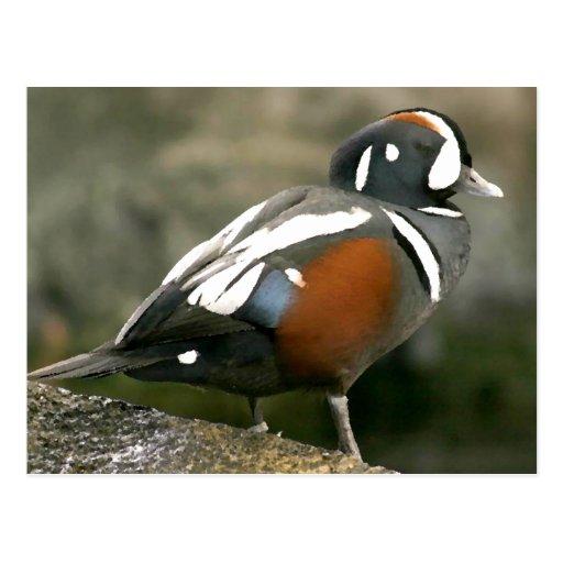 Harlequin Duck (drake) Postcards