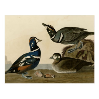 Harlequin Duck Postcard