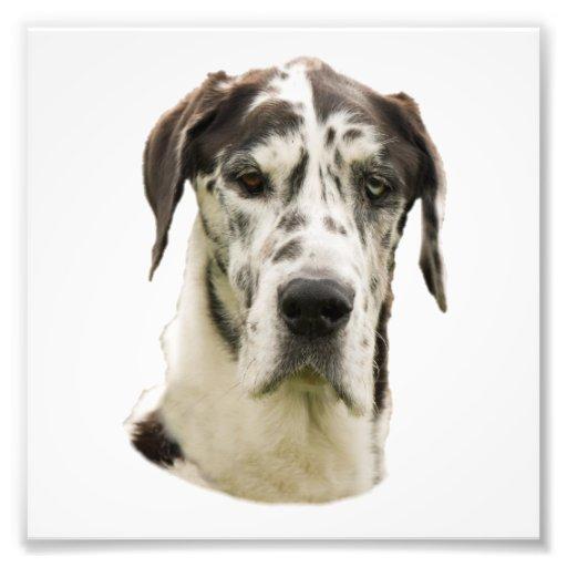 Harlequin Great Dane Portrait Photo