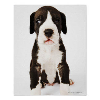 Harlequin Great Dane puppy on white background Poster