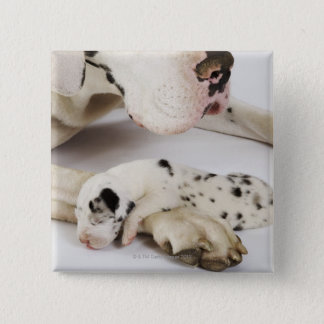 Harlequin Great Dane puppy sleeping on mother 15 Cm Square Badge