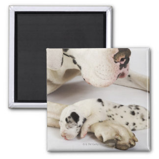 Harlequin Great Dane puppy sleeping on mother Magnet