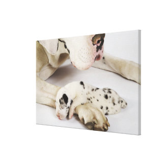 Harlequin Great Dane puppy sleeping on mother's Canvas Print