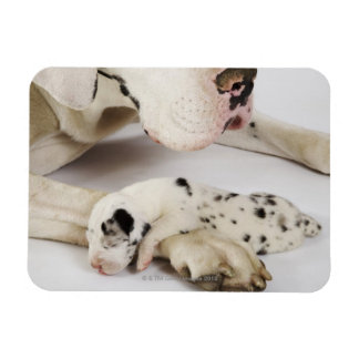 Harlequin Great Dane puppy sleeping on mother's Magnet