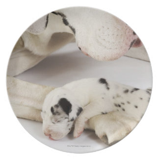 Harlequin Great Dane puppy sleeping on mother's Plate