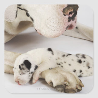 Harlequin Great Dane puppy sleeping on mother's Square Sticker