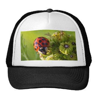 Harlequin Lady Bug Beetle Harmonia Axyridis Cap