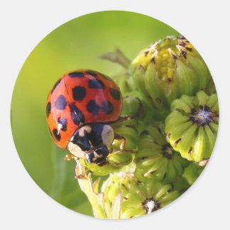 Harlequin Lady Bug Beetle Harmonia Axyridis Round Sticker