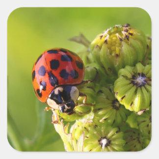 Harlequin Lady Bug Beetle Harmonia Axyridis Square Sticker