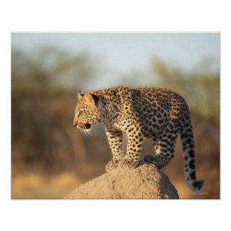 Harnas Wildlife Sanctuary, Namibia Poster