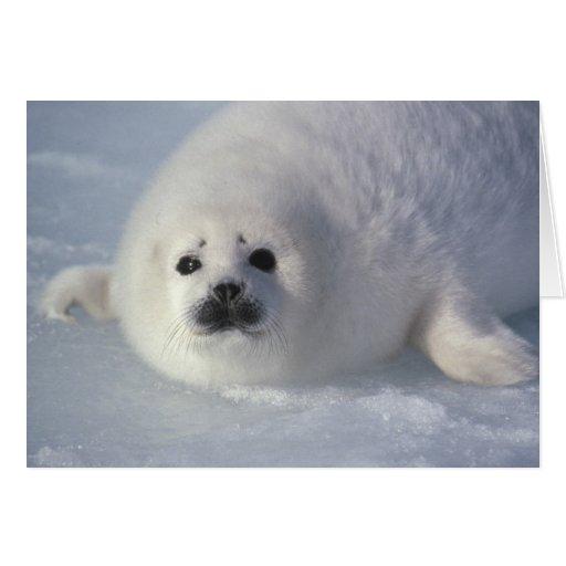 Harp seal Phoca groenlandica) A week-old harp Greeting Cards
