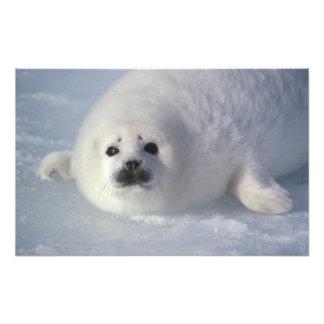 Harp seal Phoca groenlandica) A week-old harp Photographic Print