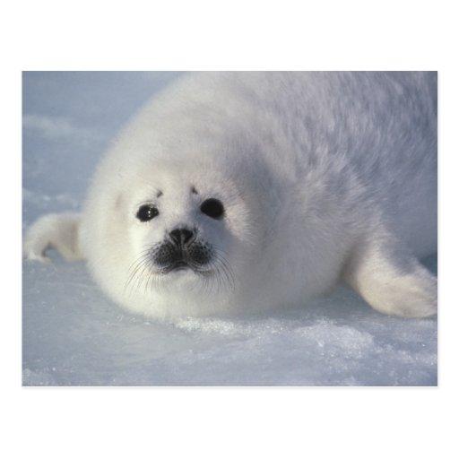 Harp seal Phoca groenlandica) A week-old harp Post Cards