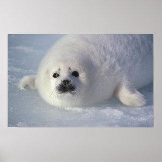 Harp seal Phoca groenlandica) A week-old harp Poster