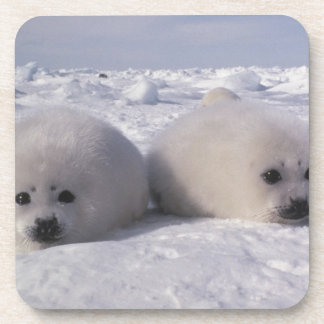 Harp seal (Phoca groenlandica) Harp seal pups Coaster