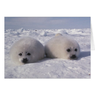Harp seal (Phoca groenlandica) Harp seal pups Greeting Card