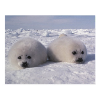 Harp seal (Phoca groenlandica) Harp seal pups Postcard