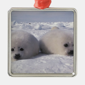 Harp seal (Phoca groenlandica) Harp seal pups Silver-Colored Square Decoration