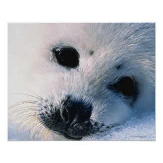 Harp seal pup 2 poster