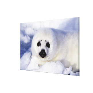 Harp seal pup ice Gulf of St. Lawrence, Canvas Print