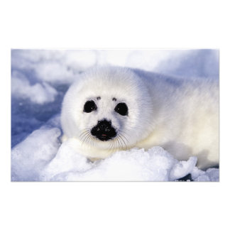 Harp seal pup ice Gulf of St. Lawrence, Photo Art