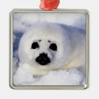 Harp seal pup ice Gulf of St. Lawrence, Silver-Colored Square Decoration