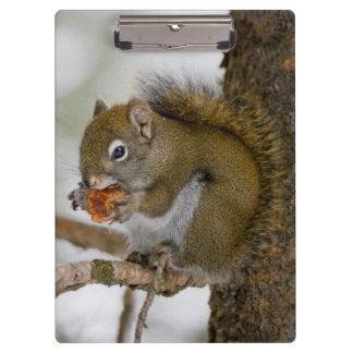 Harriman State Park, Idaho. USA. Red Squirrel Clipboard