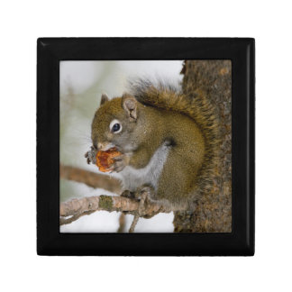 Harriman State Park, Idaho. USA. Red Squirrel Gift Box