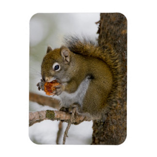 Harriman State Park, Idaho. USA. Red Squirrel Magnet