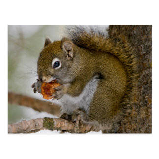 Harriman State Park, Idaho. USA. Red Squirrel Postcard