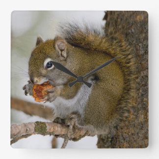 Harriman State Park, Idaho. USA. Red Squirrel Square Wall Clock
