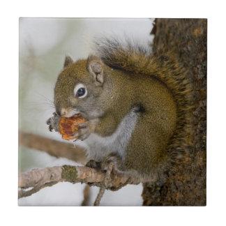 Harriman State Park, Idaho. USA. Red Squirrel Tile