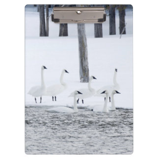 Harriman State Park, Idaho. USA. Trumpeter Swans Clipboard