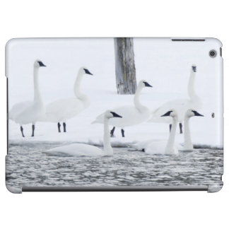 Harriman State Park, Idaho. USA. Trumpeter Swans Cover For iPad Air